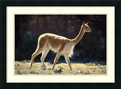 Framed Wall Art Print Vicuna Male on Lookout for Rivals Pampa Galeras Nature Reserve Peru by Tui De Roy 26.00 x 19.25 (Framed Lookout Print)