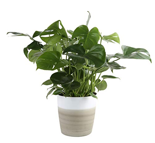 Costa Farms Swiss Cheese Monstera deliciosa, Indoor Plant in in Décor Planter, 2 to 3-Feet Tall, White-Natural
