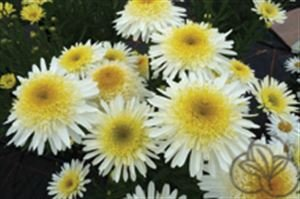 (1 Gallon) 'Real Glory'shasta Daisy,multiple Layers of Pure White Petals That Open Flat but Gradually Reflex, Exposing a Frilly Yellow Dome. 4
