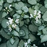 (4.5'' Pots - Flats of 10) Lamium Maculatum 'White Nancy' Deadnettle (Groundcover) Foliage of Silver Leaves with a Narrow Green Margin, White Flower Clusters.