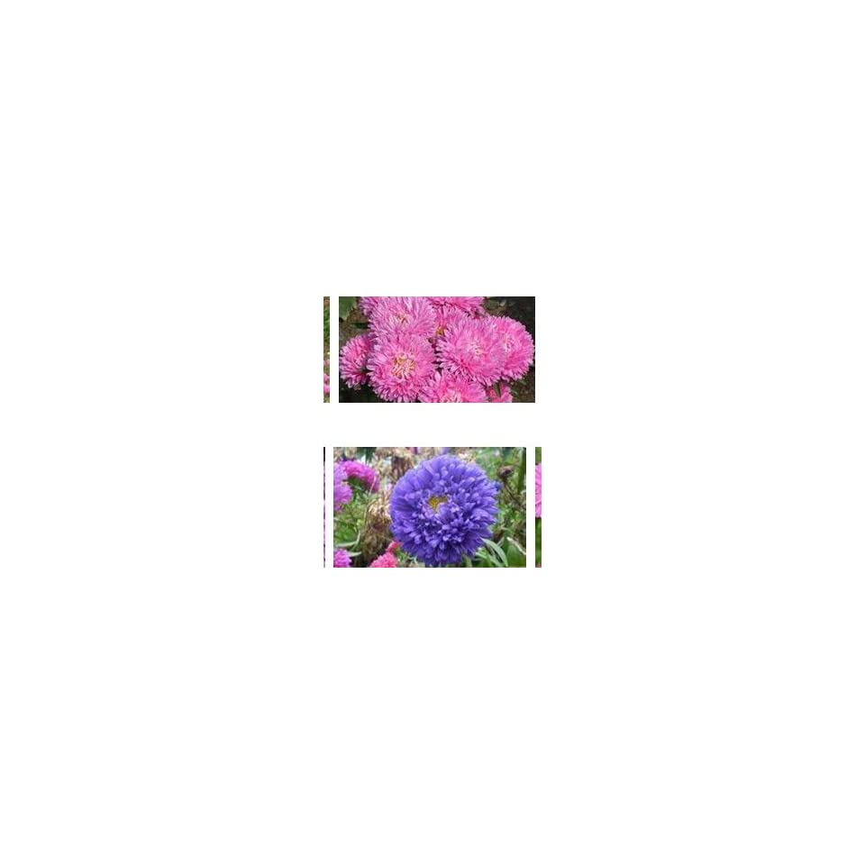 SD1500 0400 Gorgeous Aster Flower Seeds, Mixed Colors Flower Aster Flower Seeds, 60 Days Money Back Guarantee (170 Seeds)