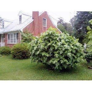 Fig tree seeds 30