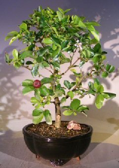 - Bonsai Boy's Flowering Dwarf Weeping Barbados Cherry Bonsai Tree - Large malpighia Pendiculata