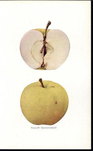 Transparent Antique (Yellow Transparent Apple Cultivar Fruit 1905 antique color botanical print)