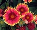 """(PGAL)~""""GAILLARDIA GRANDIFLORA MIX""""~Seeds!!!~~~~~~~~Blanket Flower"""