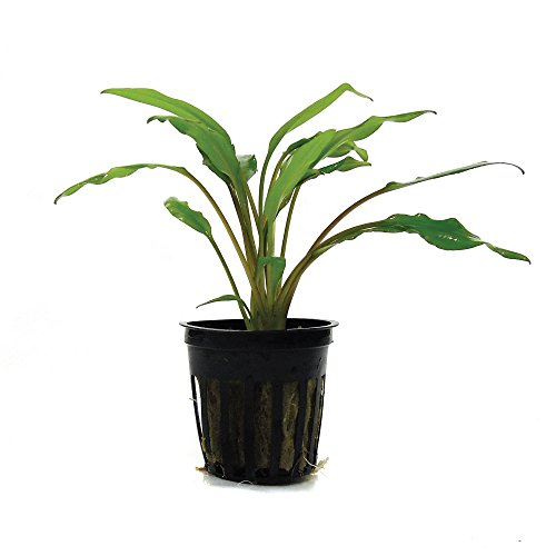 SubstrateSource Cryptocoryne Lutea Live Aquatic Aquarium Plant