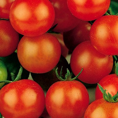Sugar Sweetie Cherry Tomato - 30 Seeds - Organic (Botanicals Sugar)