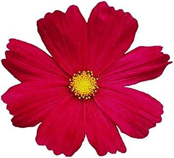 Dazzler Red Cosmos Seeds Heirloom Cosmos Seeds Bulk Cosmos Seeds 400ct