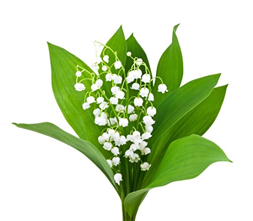 6 Very Large, Plump Lily of the Valley Plants Bare Root. Plant Now for Bloom Next May.