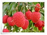 6 Seeds Tropical Asian Thai Lychee Fruit