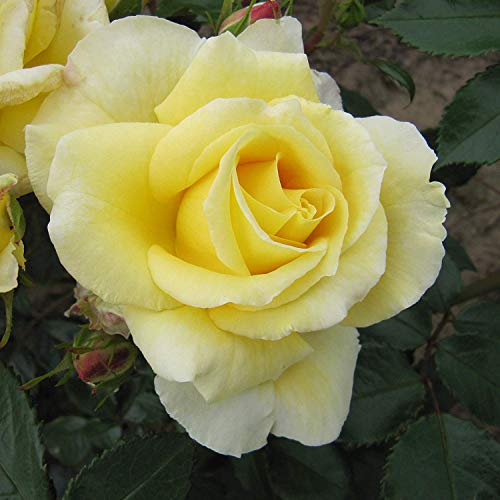 IDEA HIGH Wonderful Husband - Bareroot Floribunda Garden Rose Bush - Exclusive Listing, Stunning Displays of Shapely Fragrant Lemon Yellow Blooms - A Great Husband Gift !