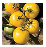 David's Garden Seeds Tomato Slicing Taxi SL739BV (Yellow) 50 Organic Seeds