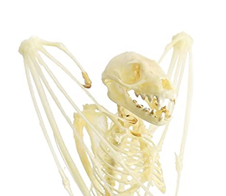 Amazon.com: Real Taxidermy Bat | Short-nosed Fruit Bat Skeleton 5 ...