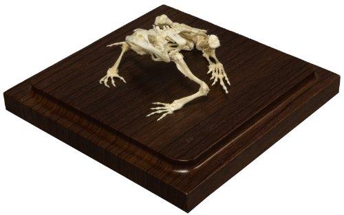 Common Bullfrog Skeleton (Natural Bone (Common Frog)