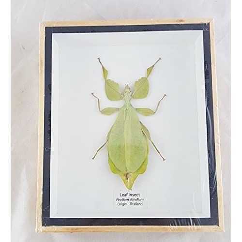 Wholesale Angelwing Real Leaf Insect Beetle Bug Green Brown Taxidermy Butterfly Insect Box Framed Display for cheap