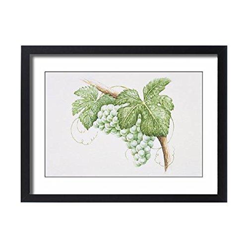 Framed 24x18 Print of Bunch of Sauvignon Blanc grapes on vine (13560165) Sauvignon Blanc Fume Blanc
