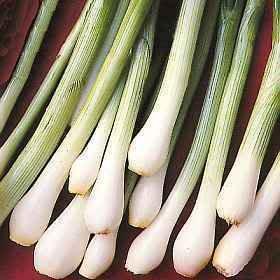 - 500 SOUTHPORT WHITE GLOBE BUNCHING ONION Allium Cepa Vegetable Seeds