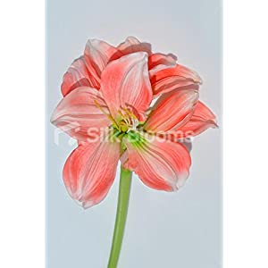 Artificial Fresh Touch Peach Amaryllis Single Stem Loose Flower 42