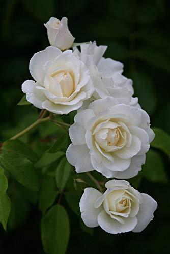 white rose flower- alt text