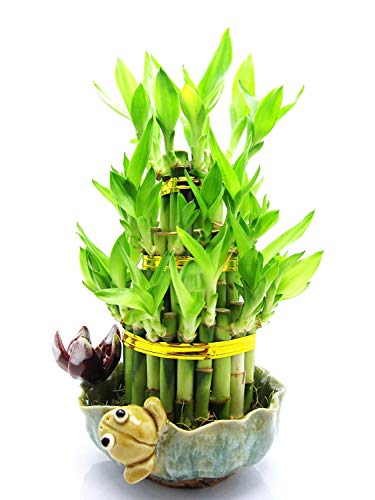 9GreenBox - Lucky Bamboo - Frog and Lotus ()