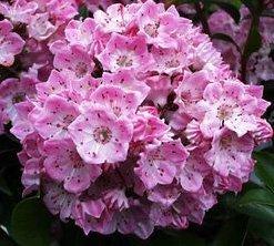 Diamond Kalmia Latifolia Mountain Laurel Pink Charm Potted Starter - Shrubs Mountain Laurel