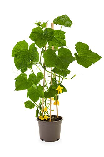 Pack of 6 Organic Snack Cucumber Plants | Ready-to-Plant | Plantables by Plantables (Image #2)