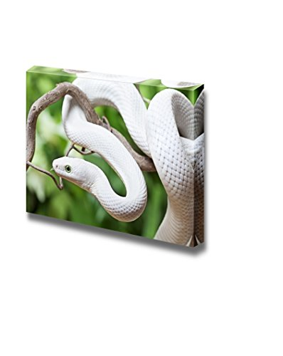 Texas Rat Snake (Canvas Prints Wall Art - Closeup of Texas Rat Snake Creeping on a Wooden Branch | Modern Wall Decor/ Home Decor Stretched Gallery Canvas Wrap Giclee Print & Ready to Hang - 32
