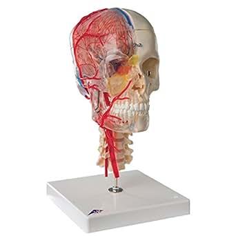 3B Scientific  A283 Modelo de anatomía humana Bonelike Cráneo – Cráneo Didáctico de Lujo, 7 Partes