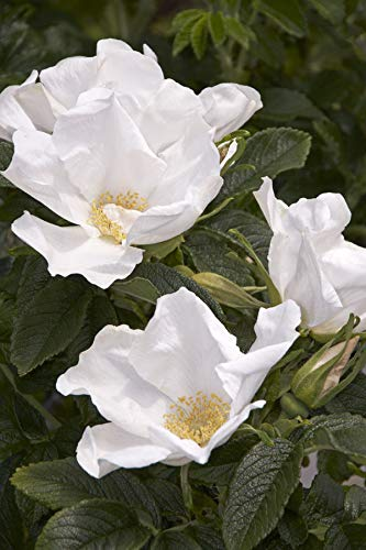 (rosa Rugosa alba (ramaras Rose). Lovely Wild Rose. Large/Trade Packet- 250)