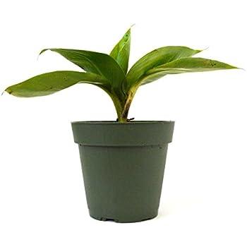 amazon com 9greenbox dwarf banana plant 4 pot live indoor