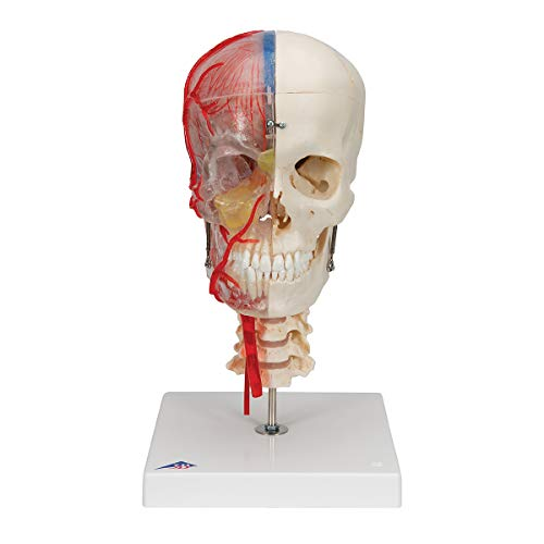 (3B Scientific A283 Bonelike Human Skull Model, Half Transparent and Half Bony Complete with Brain and Vertebrae, 7.1