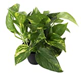 Costa Farms Devil's Ivy, Golden Pothos, Epipremnum, 4in Grow Pot, 2-Pack, Very Easy to Grow