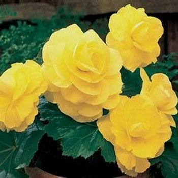 Outsidepride Yellow Begonia - 500 seeds