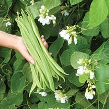 25 Moonlight Runner Bean Seeds By Seeds and Things Moonlight's vines can reach 10 feet high