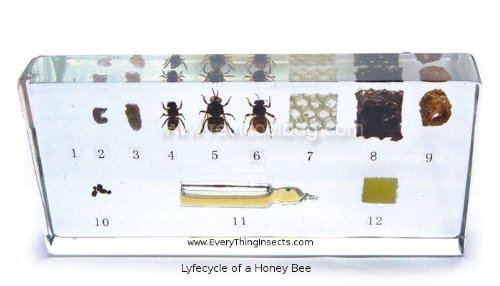 Honey Bee Life Cycle Acrylic