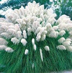 Hemore White Pampas Grass 200 Graines Cortaderia