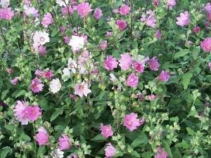 Amazon 200 rose mallow bush mallow hibiscus lavatera 200 rose mallow bush mallow hibiscus lavatera trimestris flower seeds mightylinksfo