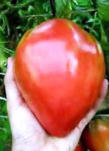 eagles-beak-giant-oxheart-tomato-seeds-rare-heirloom