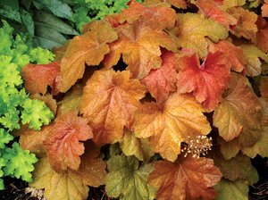 2-southern-comfort-heuchera-trade-gallon-size667-gallons-of-soil