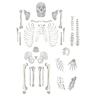 """Disarticulated Human Skeleton, Full, Medical Quality, Life Sized (62"""" Model Height) - 23 Intervertebral Discs, 3 Part Skull with Movable Jaw, Left Hand and Foot Jointed"""