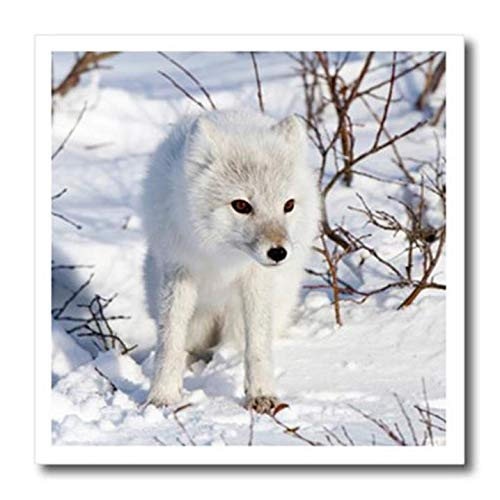 3dRose Arctic Fox in Winter, Churchill Wildlife Area, Churchill, MB Canada - Iron On Heat Transfer, 8 by 8-inch, for White Material (ht_209814_1)
