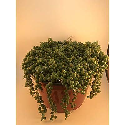 1 Succulent Plant 8