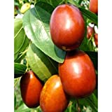 "Chinese Li Jujube Fruit Tree 3-4"" feet Height in 3 Gallon Pot #BS1"