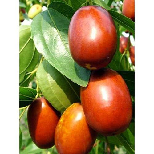 Chinese Jujube Fruit Tree 5-6 Feet Height in 7 Gallon Pot #BS1 by iniloplant (Image #3)