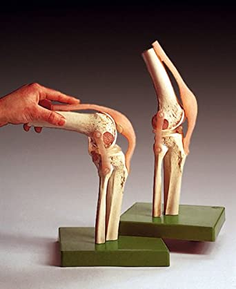 Functional knee joint human anatomy model human anatomical models functional knee joint human anatomy model ccuart Image collections