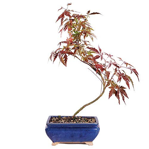 (Brussel's Bonsai Live Japanese Red Maple Outdoor Bonsai Tree-4 Years Old 6