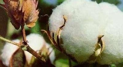 20Seeds / bolsa Semillas Semillas jardín de la planta de algodón blanco Gossypium envío gratuito: Amazon.es: Jardín