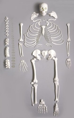 Wellden Medical Full Disarticulated Skeleton, Human Anatomical, Life-size, - Human Skeleton Disarticulated