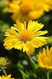 Gaillardia grandiflora Mesa Yellow 100 seeds