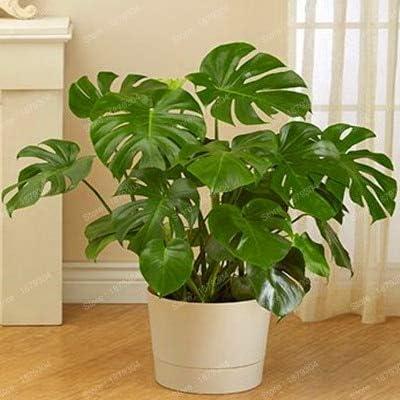Amazon.com: Nueva planta perenne de bonsái filodendro árbol ...